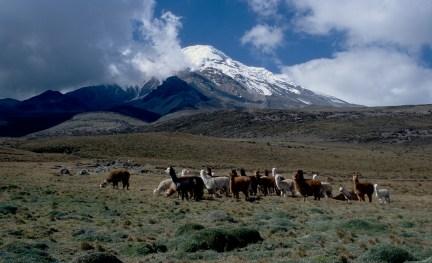 Alpacas frente al Chimborazo (Foto: Hans Steglitz, Wikimedia Commons, CC-BY-SA-3.0)