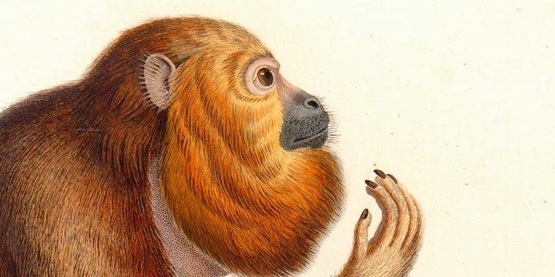 Humboldt, simia ursina