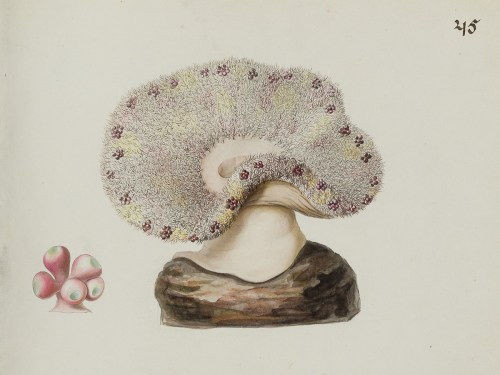Ehrenberg: Seeanemone Heterodactyla hemprichii