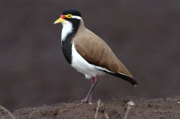 Banded Lapwing Lester Bridge, SE Qld ©Tom Tarrant June 2012