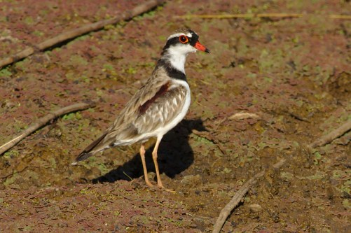 Black-fronted Dotterel, Eynesbury, Vic