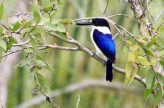 Forest Kingfisher Fogg Dam, NT ©Tom Tarrant September 2011