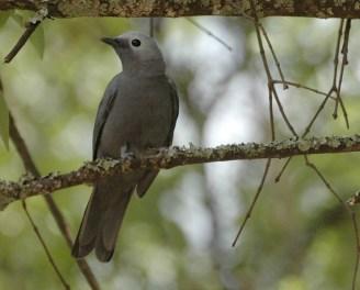Grey Cuckoo-shrike