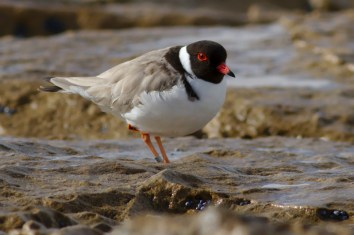 Hooded Plover, Anglesea Victoria