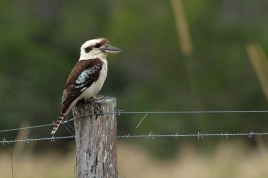 Laughing Kookaburra Armstrong Ck, SE Qld ©Tom Tarrant October 2012
