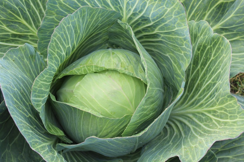 white-cabbage-432608_1280