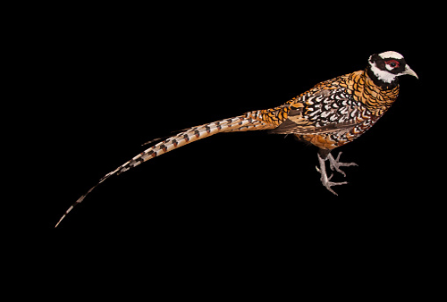 A Reeves pheasant, Syrmaticus reevesii, from the Gladys Porter Zoo.