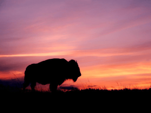 Running with Buffalo | A Voice of Nature