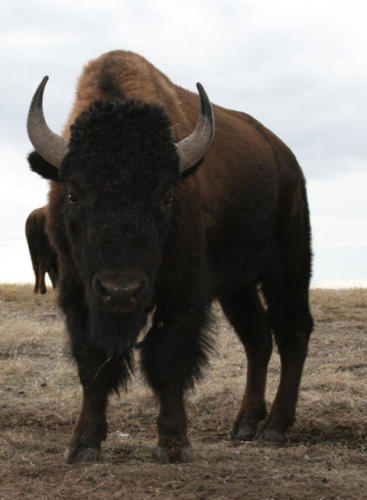 Buffalo Welcome | A Voice of Nature