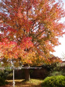 the lovely liquid amber tree in the back yard in autumn glory