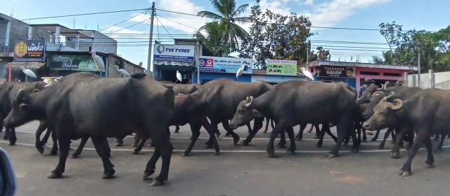 Po Šrilanki z najetim avtomobilom