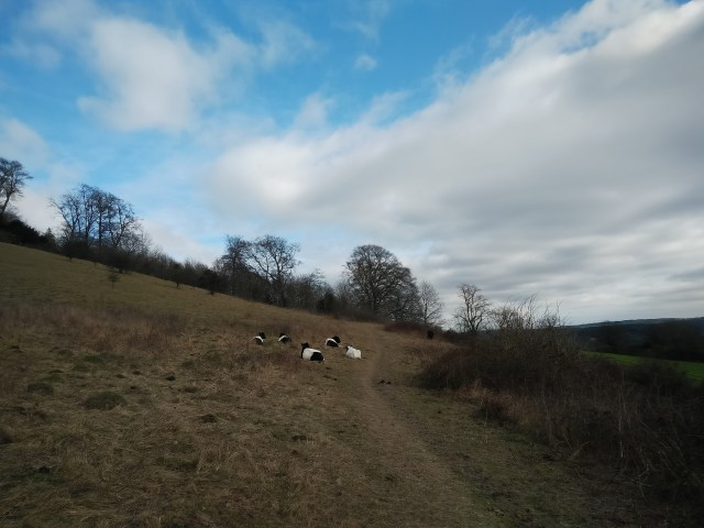 Hello fluffy cows!