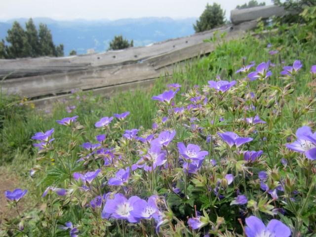 Pretty purple flowers near the Gollerspitz bench