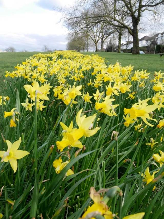 Lines of daffodils in Upper Norwood