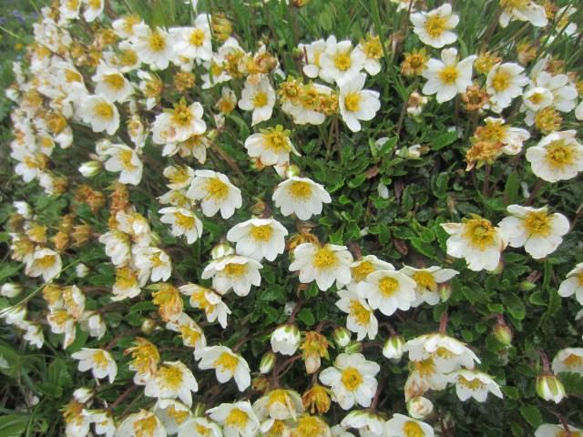 More alpine flowers