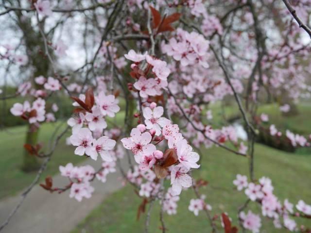North London blossoms