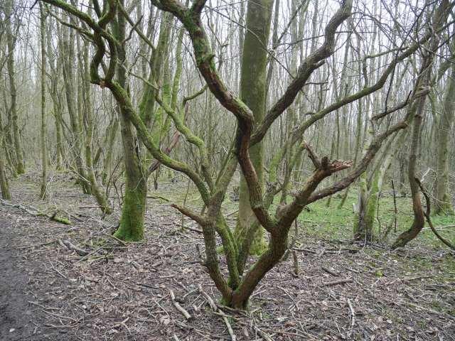 V-line tree!