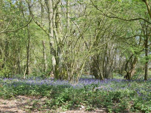 So many bluebells!