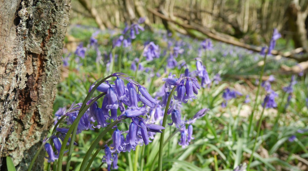Droopy bluebells