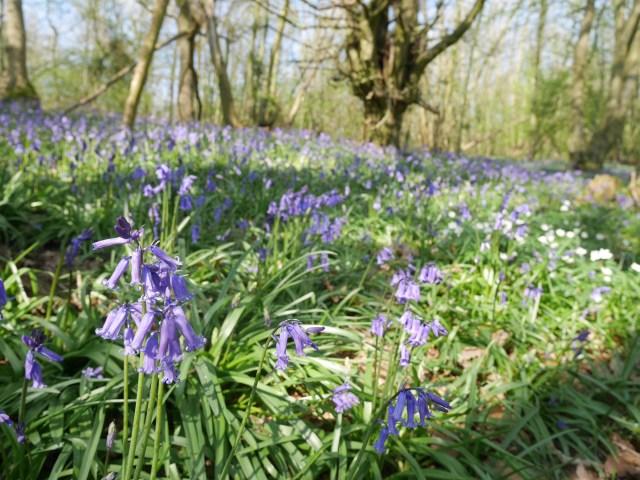 Trosley Country Park bluebells