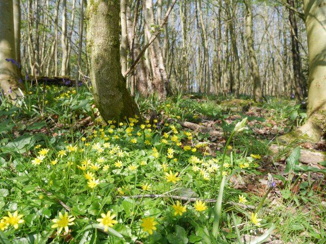 Trosley Country Park star flowers