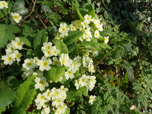 Primroses on Holly hill