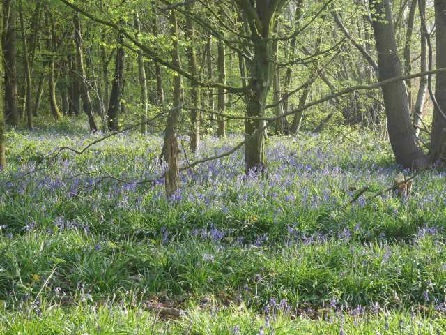 Rochester forest bluebells