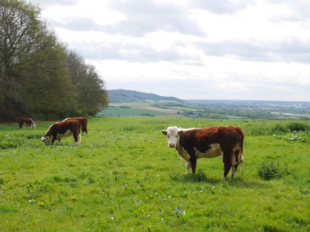 Cows on the Rascombe farm reserve