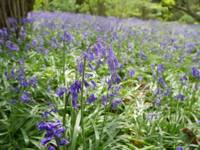 Lovely path of bluebells