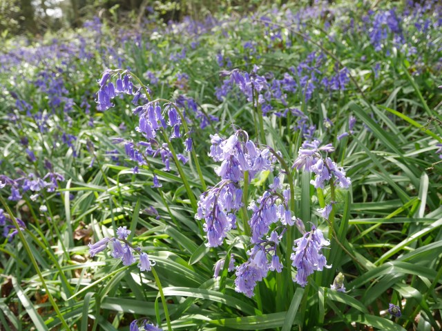 Gorgeous frilly bluebells in the sun