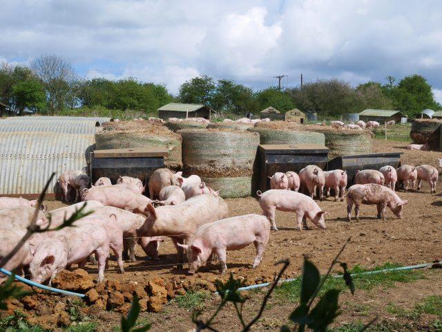 Piggies! It was feeding time