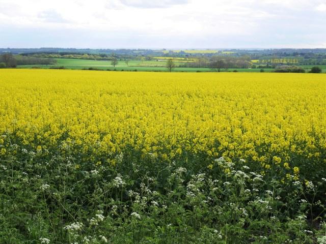 Rapefields near Lenham