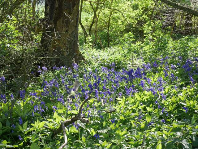 Bluebells near Charing