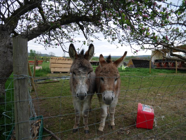 Hello Donkeys