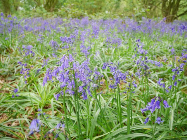 Pretty bluebells at the end of the bluebell season