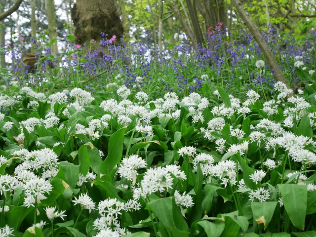 Bluebells and garlic