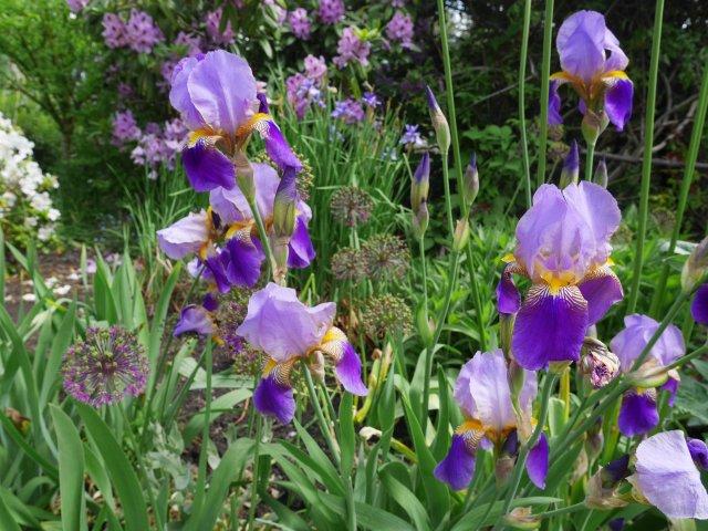 Pretty irises near Granville Island