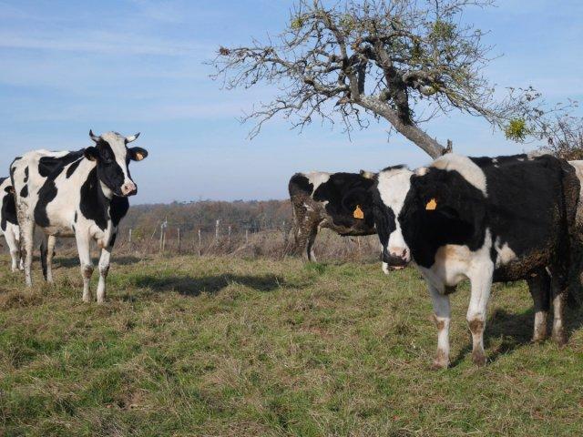 Les cows