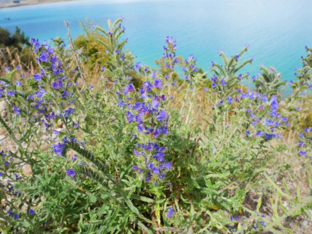 Wild flowers by lake Tekapo