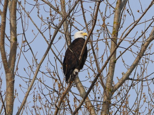 The first Bald Eagle I have ever seen up close