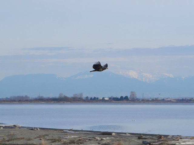 Young Bald Eagle flying over Boundary Bay Regional Park