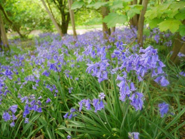 Bluebells in Malvern Hills