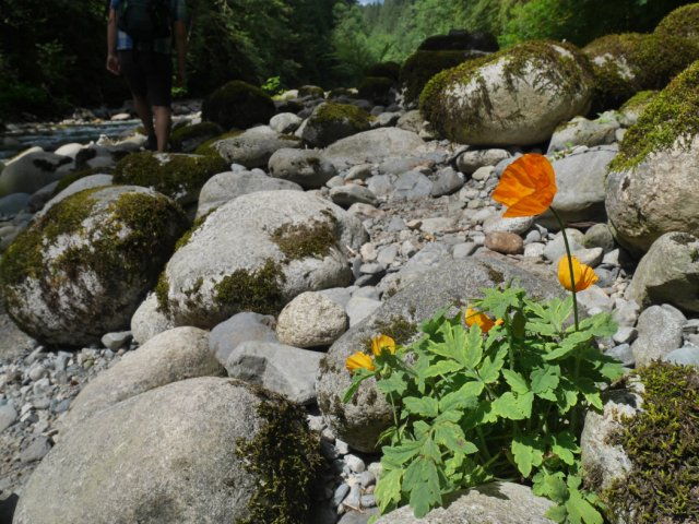 Lynn Creek Park poppies