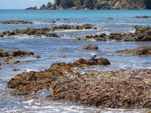 Seagul on Oneroa beach