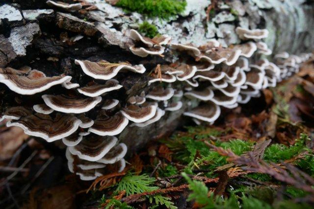 Bracket mushrooms on a dead log