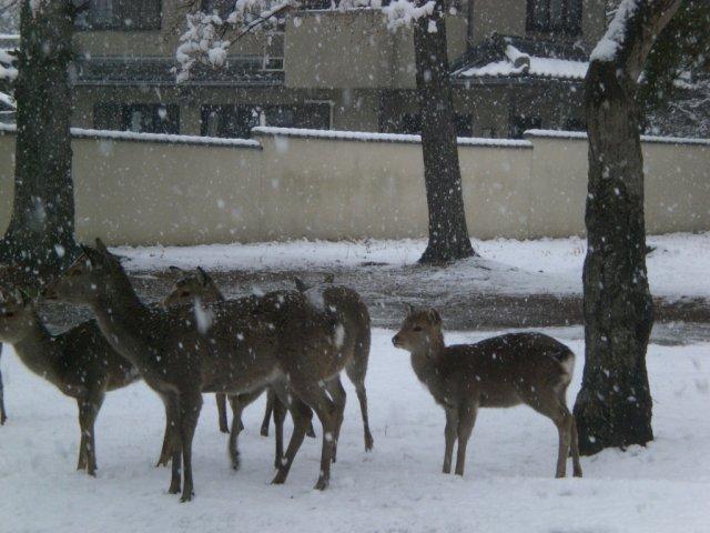 Nara Koen chilly deer