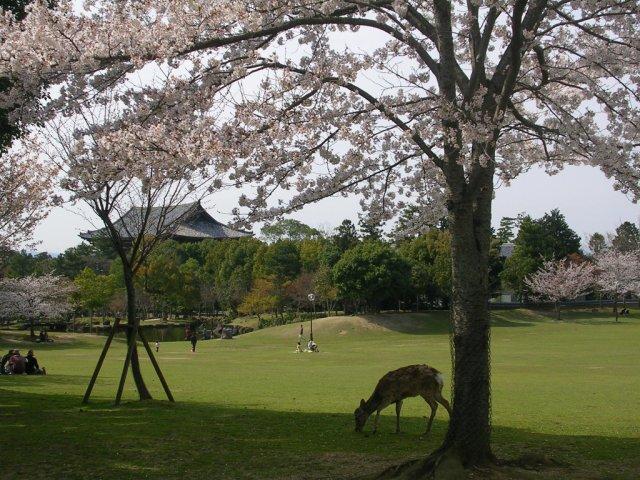 Nara koen sakura