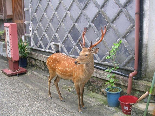 Nara machi deer