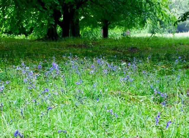 Bluebells in Chatsworth - photo from Nuraini @ Teja