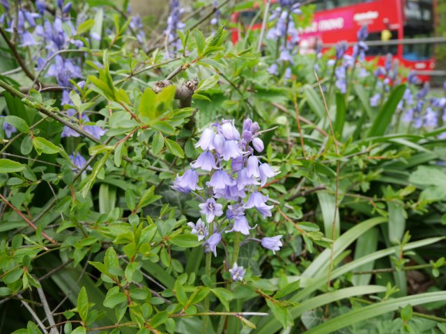 London bus and bluebells